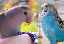 Lovebirds or Budgies Difference between